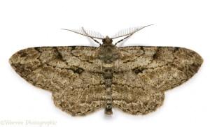 Pale Oak Beauty Moth (Hypomecis punctinalis) male